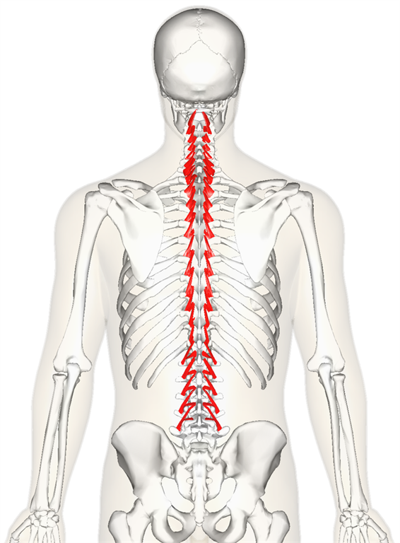 Exercise The Connectors Of The Spine Multifidus And